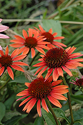Big Sky Sundown Coneflower (Echinacea 'Big Sky Sundown') at Hartman Companies