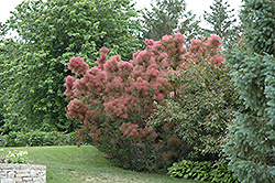 Royal Purple Smokebush (Cotinus coggygria 'Royal Purple') at Hartman Companies