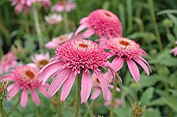 Cone-fections™ Pink Double Delight Coneflower (Echinacea purpurea 'Pink Double Delight') at Hartman Companies