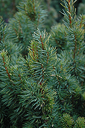 Citation Yew (Taxus x media 'Citation') at Hartman Companies
