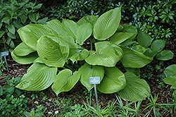 Sum and Substance Hosta (Hosta 'Sum and Substance') at Hartman Companies