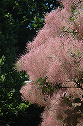 Grace Smokebush (Cotinus 'Grace') at Hartman Companies