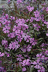 Purple Beauty Moss Phlox (Phlox subulata 'Purple Beauty') at Hartman Companies