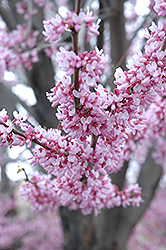 Eastern Redbud (Cercis canadensis) at Hartman Companies
