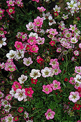 Purple Robe Saxifrage (Saxifraga x arendsii 'Purple Robe') at Hartman Companies
