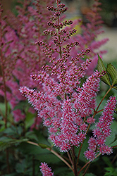 Maggie Daley Astilbe (Astilbe chinensis 'Maggie Daley') at Hartman Companies