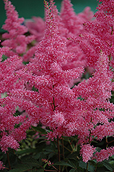 Rhythm and Blues Astilbe (Astilbe 'Rhythm and Blues') at Hartman Companies