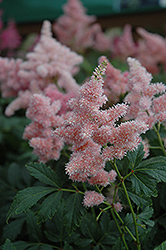 Sister Theresa Astilbe (Astilbe x arendsii 'Sister Theresa') at Hartman Companies