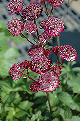 Star Of Fire Masterwort (Astrantia major 'Star Of Fire') at Hartman Companies