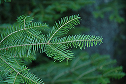 Balsam Fir (Abies balsamea) at Hartman Companies