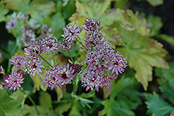 Abbey Road Masterwort (Astrantia major 'Abbey Road') at Hartman Companies