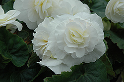 Nonstop® White Begonia (Begonia 'Nonstop White') at Hartman Companies