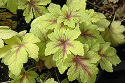 Golden Zebra Foamy Bells (Heucherella 'Golden Zebra') at Hartman Companies