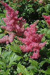 Younique Cerise™ Astilbe (Astilbe 'Verscerise') at Hartman Companies