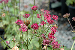 Venice Masterwort (Astrantia major 'Venice') at Hartman Companies