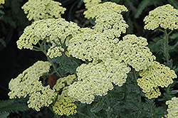 Anthea Yarrow (Achillea 'Anthea') at Hartman Companies
