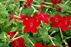 Saratoga Deep Rose Flowering Tobacco (Nicotiana 'Saratoga Deep Rose') at Hartman Companies