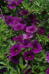 Cabaret® Deep Blue Calibrachoa (Calibrachoa 'Cabaret Deep Blue') at Hartman Companies