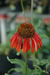 Firebird Coneflower (Echinacea 'Firebird') at Hartman Companies