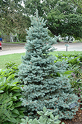 Sester Dwarf Blue Spruce (Picea pungens 'Sester Dwarf') at Hartman Companies