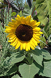 Miss Sunshine Annual Sunflower (Helianthus annuus 'Miss Sunshine') at Hartman Companies