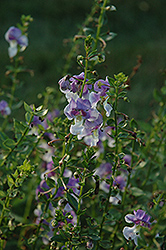 Angelface® Wedgewood Blue Angelonia (Angelonia angustifolia 'Angelface Wedgewood Blue') at Hartman Companies