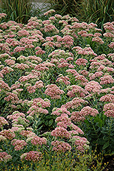 Autumn Joy Stonecrop (Sedum 'Autumn Joy') at Hartman Companies