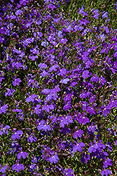 Regatta Midnight Blue Lobelia (Lobelia erinus 'Regatta Midnight Blue') at Hartman Companies