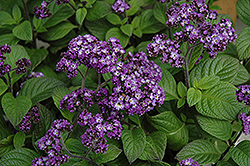 Fragrant Delight Heliotrope (Heliotropium arborescens 'Fragrant Delight') at Hartman Companies