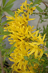 Gold Tide Forsythia (Forsythia x intermedia 'Gold Tide') at Hartman Companies
