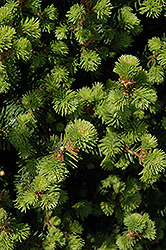 Sherwood Compact Norway Spruce (Picea abies 'Sherwood Compact') at Hartman Companies
