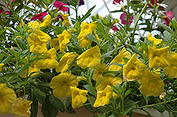 Superbells® Yellow Calibrachoa (Calibrachoa 'Superbells Yellow') at Hartman Companies
