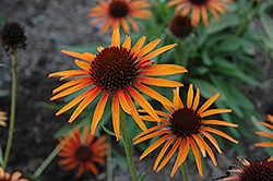Flame Thrower Coneflower (Echinacea 'Flame Thrower') at Hartman Companies
