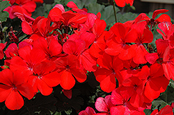 Caliente Orange Geranium (Pelargonium 'Caliente Orange') at Hartman Companies
