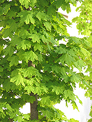 Columnar Norway Maple (Acer platanoides 'Columnare') at Hartman Companies
