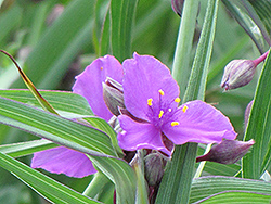 Concord Grape Spiderwort (Tradescantia x andersoniana 'Concord Grape') at Hartman Companies