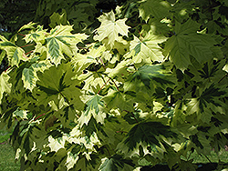 Variegated Norway Maple (Acer platanoides 'Variegatum') at Hartman Companies
