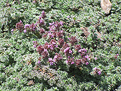 Wooly Thyme (Thymus pseudolanuginosis) at Hartman Companies