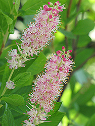 Ruby Spice Summersweet (Clethra alnifolia 'Ruby Spice') at Hartman Companies
