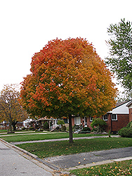 Autumn Radiance Red Maple (Acer rubrum 'Autumn Radiance') at Hartman Companies