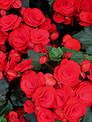 Nonstop® Red Begonia (Begonia 'Nonstop Red') at Hartman Companies