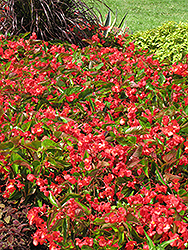 Dragon Wing Red Begonia (Begonia 'Dragon Wing Red') at Hartman Companies