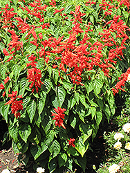 Lighthouse Red Sage (Salvia splendens 'Lighthouse Red') at Hartman Companies