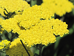 Moonshine Yarrow (Achillea 'Moonshine') at Hartman Companies