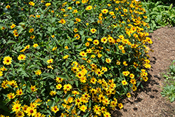 Summer Nights False Sunflower (Heliopsis helianthoides 'Summer Nights') at Hartman Companies