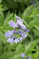 Blue Ice Star Flower (Amsonia tabernaemontana 'Blue Ice') at Hartman Companies