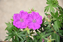 New Hampshire Purple Cranesbill (Geranium sanguineum 'New Hampshire Purple') at Hartman Companies