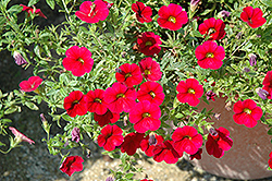 Superbells® Red Calibrachoa (Calibrachoa 'Superbells Red') at Hartman Companies