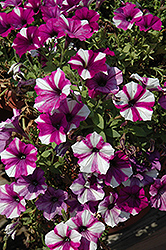 Peppy Blue Petunia (Petunia 'Peppy Blue') at Hartman Companies
