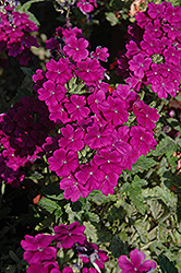 Empress™ Purple Verbena (Verbena 'Empress Purple') at Hartman Companies